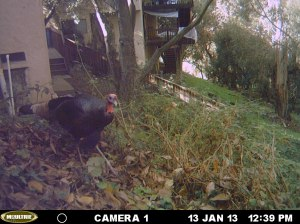 Captured on a game camera in my own yard.